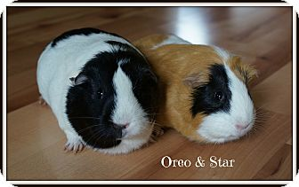Guinea Pig for adoption in Brooklyn Park, Minnesota - Oreo & Star