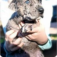 Adopt A Pet :: Willow - Plano, TX