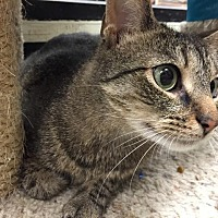 Domestic Shorthair Cat for adoption in Chesapeake, Virginia - Sugar Pop