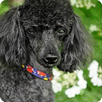Adopt A Pet :: CZARNE - Elk River, MN