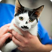 Adopt A Pet :: George Chaplin (Polydactyl) - Monroe, NC