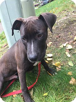 Pit Bull Terrier/Labrador Retriever Mix Puppy for adoption in Seattle, Washington - Joey