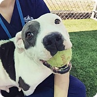 Pit Bull Terrier Dog for adoption in Riverview, Florida - Lucy Lou