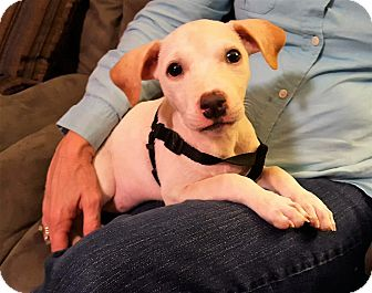 Terrier (Unknown Type, Medium)/Chihuahua Mix Puppy for adoption in Middlesex, New Jersey - Lily Bug