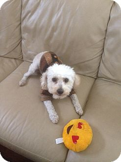 Miniature Poodle Dog for adoption in Corona, California - Mr Tobby, Four yr. poodle