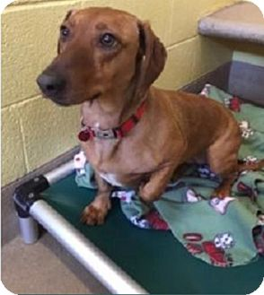 Dachshund/Basset Hound Mix Dog for adoption in Westminster, Colorado - Redwood