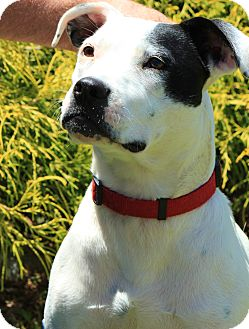 Pit Bull Terrier Mix Puppy for adoption in Reisterstown, Maryland - Janey Faye