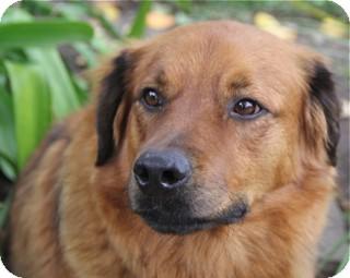 Golden Retriever Mix Dog for adoption in Norwalk, Connecticut - Emmit-@DogGoneSmart/Norwalk