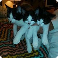 Adopt A Pet :: Meshach - Ft. Lauderdale, FL