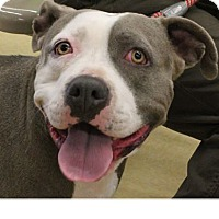 Boxer/Staffordshire Bull Terrier Mix Dog for adoption in Grass Valley, California - Zahya