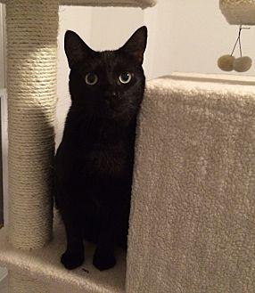 Domestic Shorthair Cat for adoption in Waxhaw, North Carolina - Salem