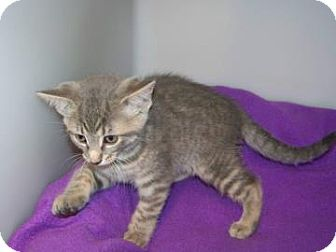 Domestic Shorthair Cat for adoption in Westville, Indiana - Jesse