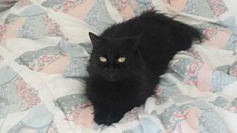 Domestic Shorthair Cat for adoption in El Cajon, California - Allen