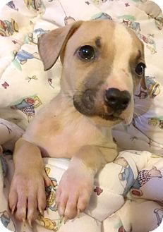 Labrador Retriever/Pit Bull Terrier Mix Puppy for adoption in Cincinnati, Ohio - Buck