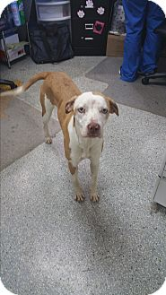 Catahoula Leopard Dog Mix Dog for adoption in Gainesville, Georgia - Sapphire