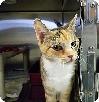 Calico Cat for adoption in Elyria, Ohio - Sophia