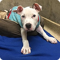 Adopt A Pet :: Frankie - Wethersfield, CT