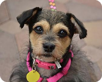 Schnauzer (Miniature)/Terrier (Unknown Type, Small) Mix Dog for adoption in Phoenix, Arizona - Annabelle