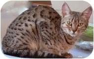Domestic Shorthair Cat for adoption in Putnam Valley, New York - Ellie