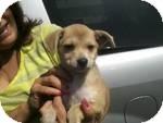 Italian Greyhound/Beagle Mix Puppy for adoption in Simi Valley, California - Lila