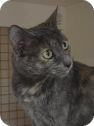 Oriental Cat for adoption in Medford, New Jersey - Maria