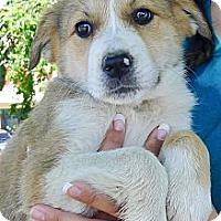 Adopt A Pet :: Butterscotch so cute - Sacramento, CA