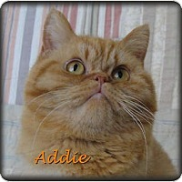 Adopt A Pet :: Addie - Beverly Hills, CA