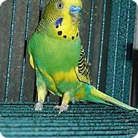 Adopt A Pet :: Mac - Lenexa, KS