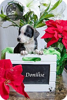 Boston Terrier Mix Puppy for adoption in Middletown, Ohio - Donilise