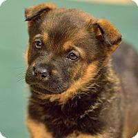 Adopt A Pet :: New Puppies - Dacula, GA