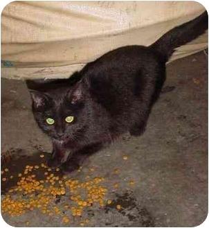 Domestic Shorthair Kitten for adoption in cincinnati, Ohio - warehouse MiMi
