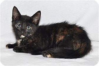 Domestic Shorthair Kitten for adoption in Lincoln, California - Janet