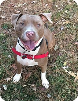 American Pit Bull Terrier Mix Dog for adoption in Snellville, Georgia - Brutus
