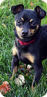 Miniature Pinscher/Chihuahua Mix Dog for adoption in Bridgeton, Missouri - Rocco-ADOPTION PENDING