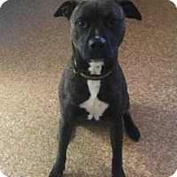 Pit Bull Terrier/Boxer Mix Dog for adoption in Harrisville, West Virginia - Kuma