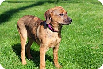 Catahoula Leopard Dog Mix Dog for adoption in richmond, Virginia - PUPPY PRINCESS PICKLES