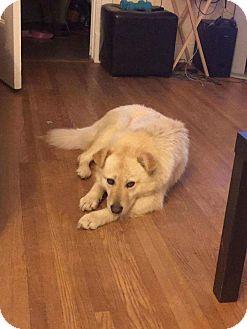 Golden Retriever/Husky Mix Dog for adoption in Regina, Saskatchewan - Blanca