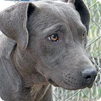 Adopt A Pet :: Caprice - Ruidoso, NM