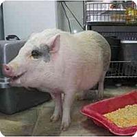 Adopt A Pet :: Roamey - Mack, CO - Las Vegas, NV