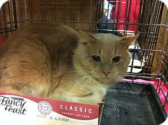 Maine Coon Cat for adoption in Pittstown, New Jersey - Myles