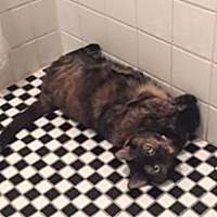 Domestic Mediumhair Cat for adoption in Brooklyn, New York - Beautiful Becky!