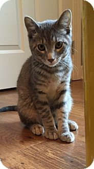 Domestic Shorthair Kitten for adoption in Des Moines, Iowa - Grayson