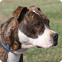 Boxer/Pit Bull Terrier Mix Dog for adoption in Marietta, Ohio - Sabrina (Spayed)