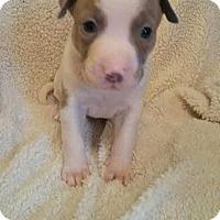Adopt A Pet :: Paisley - Thompson, PA