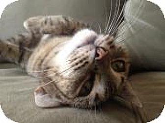 American Shorthair Cat for adoption in New York, New York - Cosita