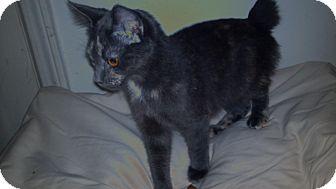 Japanese Bobtail Kitten for adoption in Simpsonville, South Carolina - Sarah