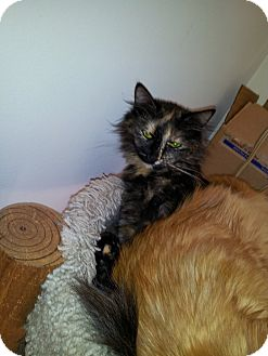 Maine Coon Cat for adoption in East Hanover, New Jersey - BK