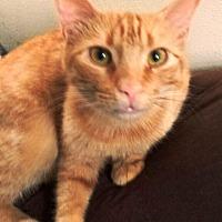 Egyptian Mau Cat for adoption in Cerritos, California - Rooney