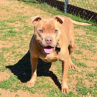 American Staffordshire Terrier/American Pit Bull Terrier Mix Dog for adoption in Acton, California - Carlitos