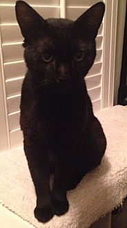 Domestic Shorthair Cat for adoption in Riverside, California - Kohl